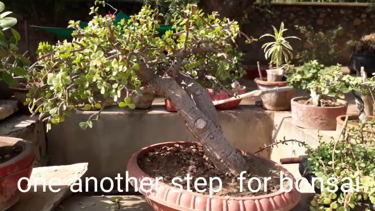 one important step to convert as bonsai my jade plant - YouTube