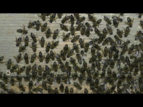 Почему пчелы скоблят прилетную доску. Новая версия
