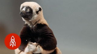 A Jumping Lemur On The Brink: The Coquerel's Sifaka Hops For Survival