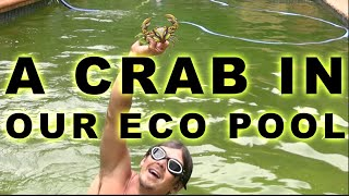 river crab in our eco pool