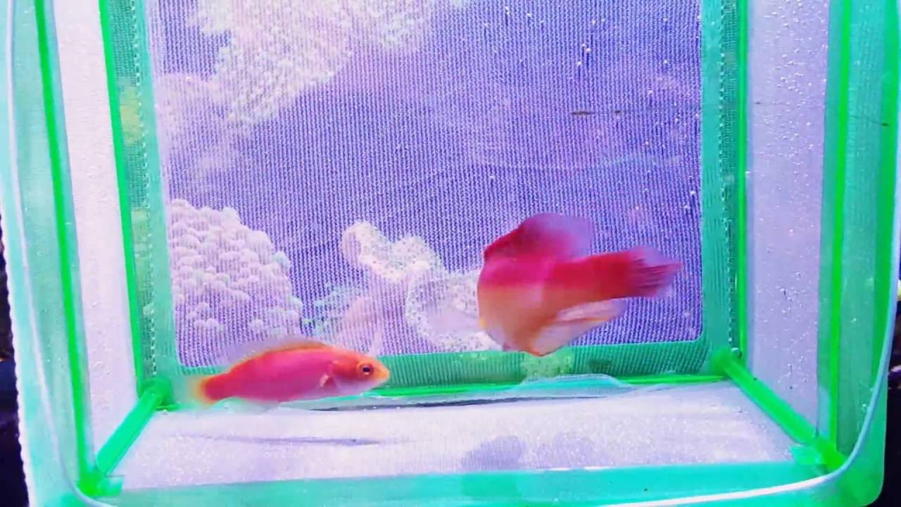 Flame Wrasse Pair Wes Reef Youtube