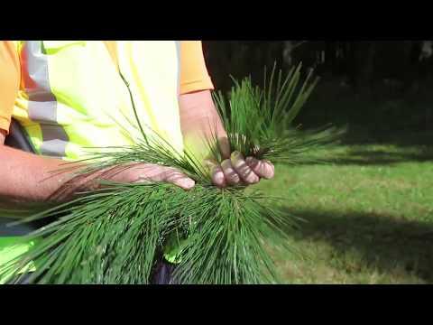 Radiata pine foliage sampling