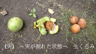 信濃くるみの収穫2015 長野県東御市道の駅 雷電くるみの里
