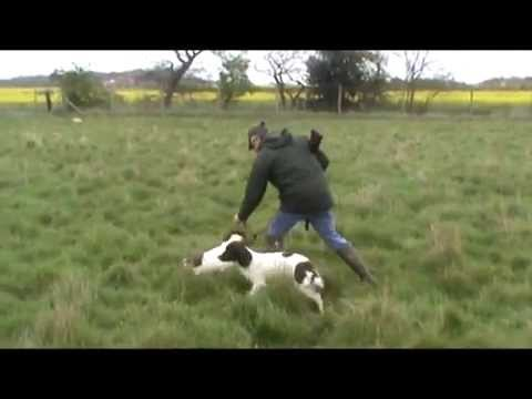 Finno Gundogs Flushing Rabbits