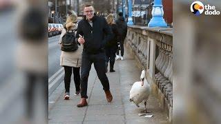 Man Walks Swan Back Home So He's Safe | The Dodo