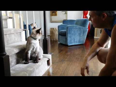 talking Ragdoll cat