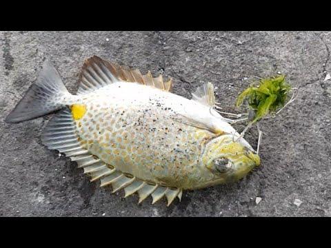 TOUCH FISHING: RABBIT FISH FISHING(HISULA TV)
