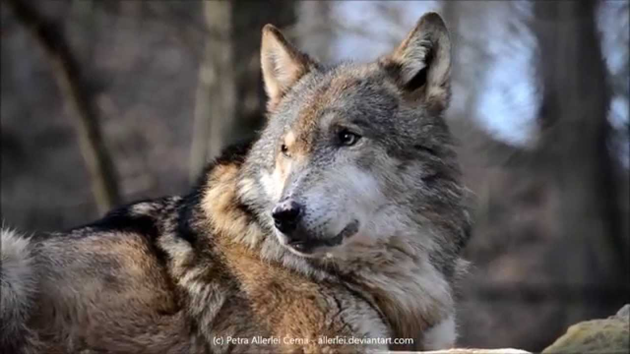Eurasian Wolf Howling Youtube