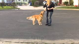 Awesome Golden Retriever Performs Tricks