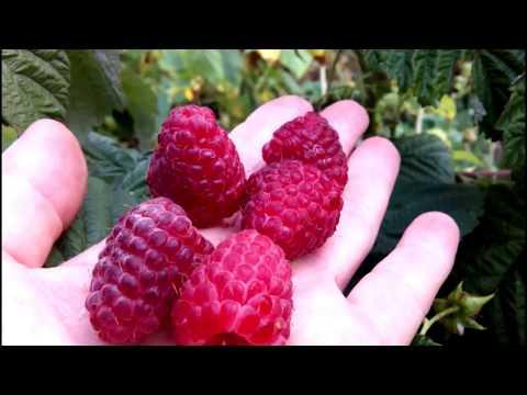 МАЛИНА ЗЮГАНА - ВКУСНЫЙ РЕМОНТАНТНЫЙ СОРТ | ремонтантная | урожайность | тутаймеры | подворье | круглый | малины | малина | зюгана | дачный | сорта