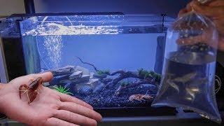 INSANE FIREBALL LOBSTER TANK!!