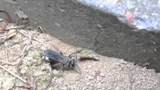 Wasp Makes a Zombie Spider
