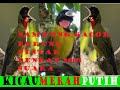 Bunyi Burung Samyong Jantan Gacor Semua Samyong Akan Ikut Bernyanyi Bila Mendengar Suara Ini  Mp3 - Mp4 Download