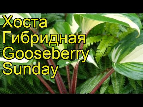 Хоста гибридная Гусберрy Сандэй. Краткий обзор, описание hosta hybridum Gooseberry Sunday