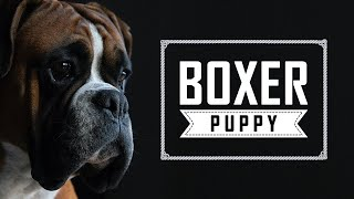 Boxer Puppy | Complete Boxer Dog Breed Guide | Petmoo #BoxerDog #DogBreedVideo