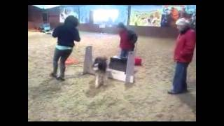 Bristol Ballistics Flyball Training Jan 2011