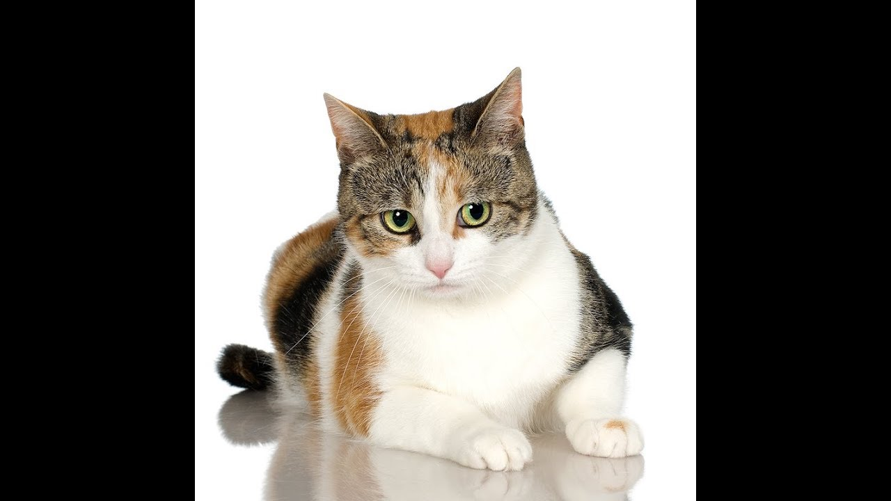 Calico Cat Calico Cat Personality Calico Cat 101 Youtube