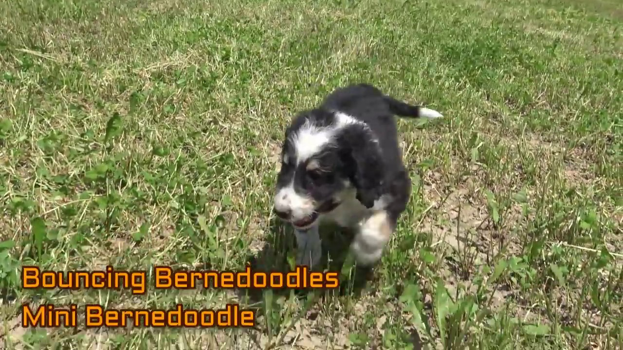 Www Bouncingbernedoodles Com Bernedoodle Puppies for Sale