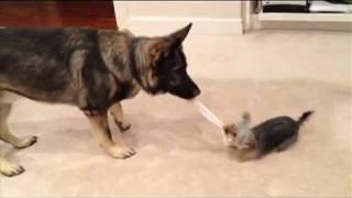 Yorkie And German Shepherd Play Tug O War