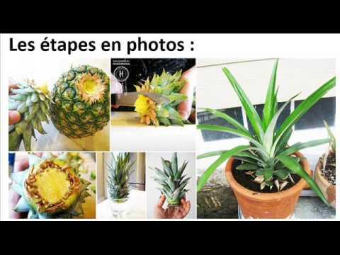 Comment faire pousser facilement un ananas partir d un autre youtube - Comment faire pousser un ananas ...