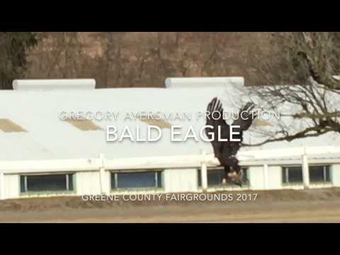 Unbelievable sighting of American Bald Eagle  January 11, 2017 in Waynesburg Pennsylvania