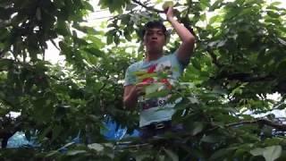 Thăm Quan Vườn Và Hái Thu Hoạch Trái Cherry Ở Nhật Bản Japan Live – Mã Siêu Cuộc Sống Ở Nhật Bản
