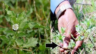 ఈ ఆకు తింటే ఒంట్లో రక్తం అమాంతం పెరుగుతుంది | GUNTA GALAGARA Prayojanalu Telugu | Eclipta alba