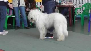 Южнорусская овчарка, видео с выставки собак в Великом Новгороде