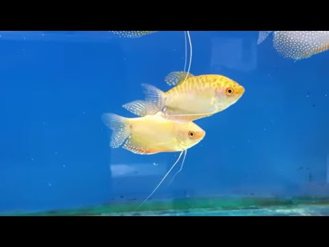HOW TO BREED GOLD GOURAMI FROM SPAWNING TO FREE SWIMMING