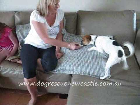 Oscar, Tenterfield Terrier dog - has been adopted