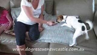 Oscar, Tenterfield Terrier dog  has been adopted
