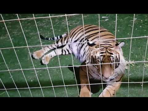 a Lesson in Afrikaans while checking on the tigers!