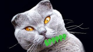 Издеваемся над вислоухой  кошкой во время течки