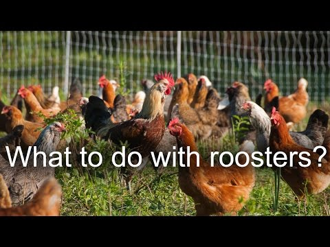 What to do with old chickens and roosters?