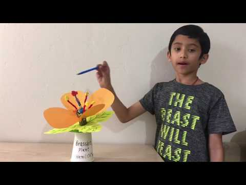 Brassica Plant Model explained by third-grade student