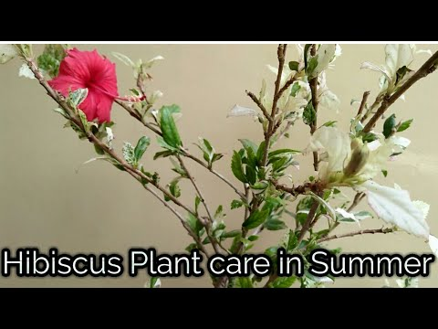 How To Care Your Hibiscus Plant During Summer Caring Tips For