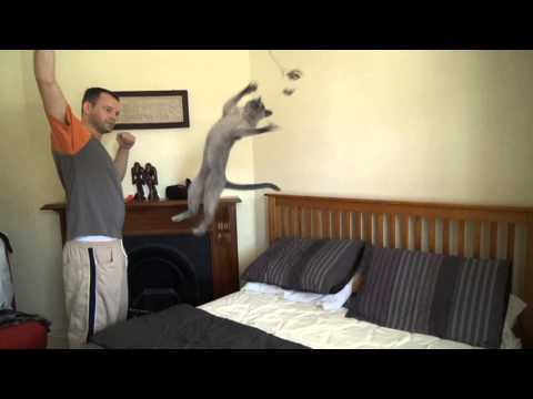 Super Cat - See how high a Burmese cat can jump