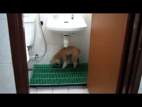Toilet training for small dogs