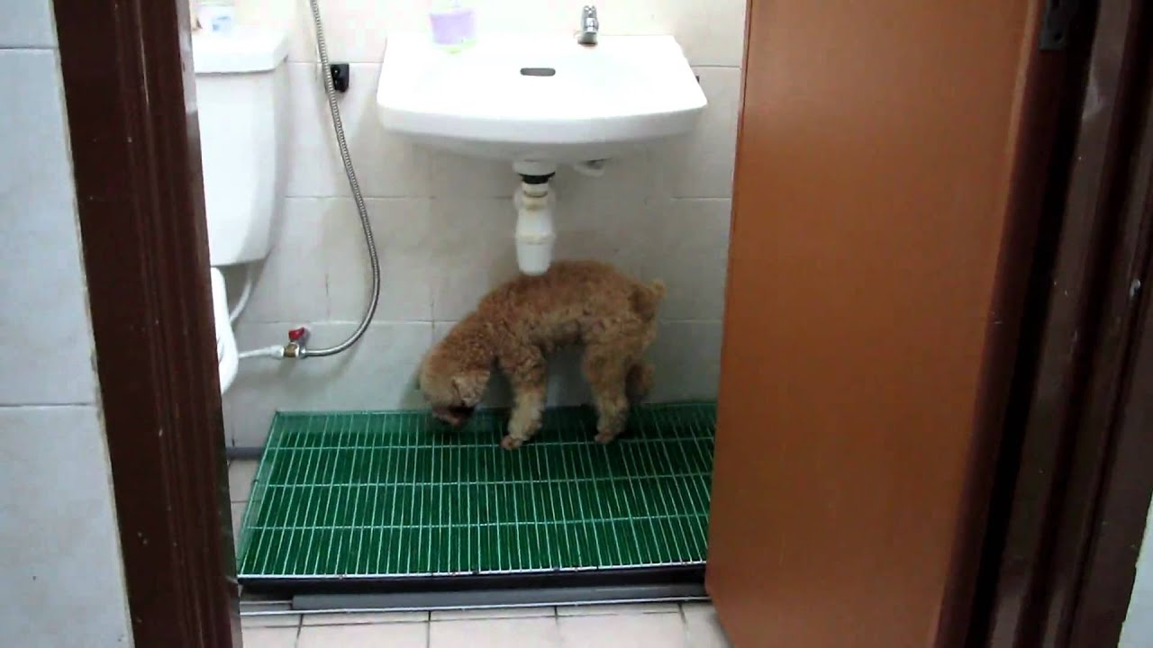 toilet training for small dogs - youtube