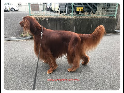 8 years 6 months but very youthful and beautiful Irish setter