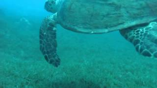 Eilat 15 june 2014 Diving with giant turtle