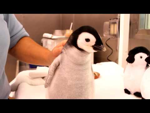 A month-old, 2-pound emperor penguin gets feeding.