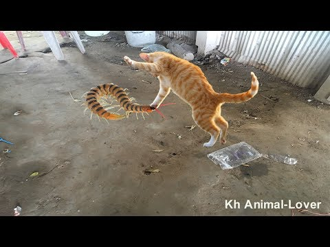 🐈Awesome Video Intelligent Cats playing with Centipede - Funny Cats Ever🐛
