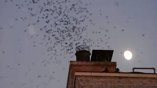 Suara panggil burung walet