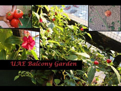UAE balcony garden#vegetables#flowers#fish globe