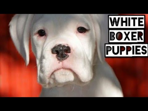 White Coat Boxer Puppies (India) Show Quality Heavy Well Bred Boxer Puppies Without KCI Registration