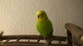 Попугай декламирует Пушкина и поет детские песенки
