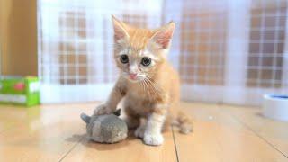 【生後50日】子猫の下手っぴなハンティングがかわいい