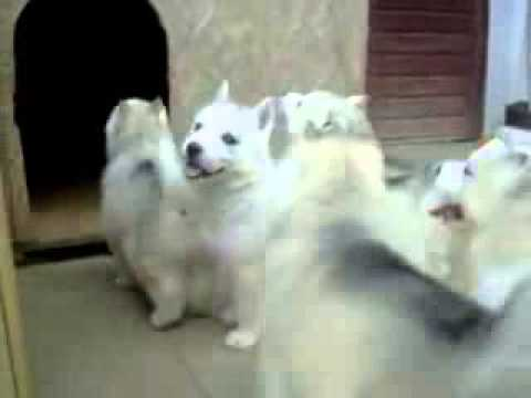 Siberian Husky Puppies For Sale In Delhi 9899990099 Noida Ghadabad