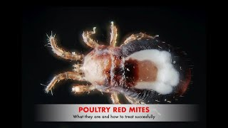 Poultry Red Mites & New drug for successful treatment! | Sez the Vet